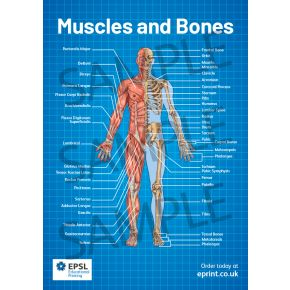 Muscles And Bones A2 Poster